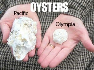 Oysters. Pacific & Olympia